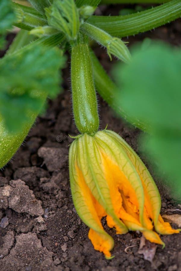Het bloeien en rijpe vruchten van courgette in moestuin royalty-vrije stock afbeelding
