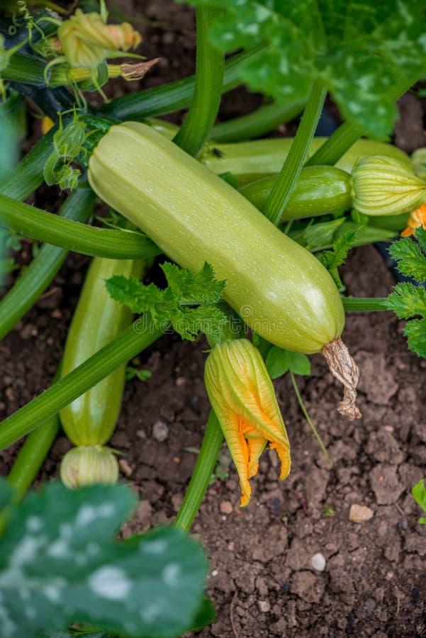 Het bloeien en rijpe vruchten van courgette in moestuin royalty-vrije stock foto