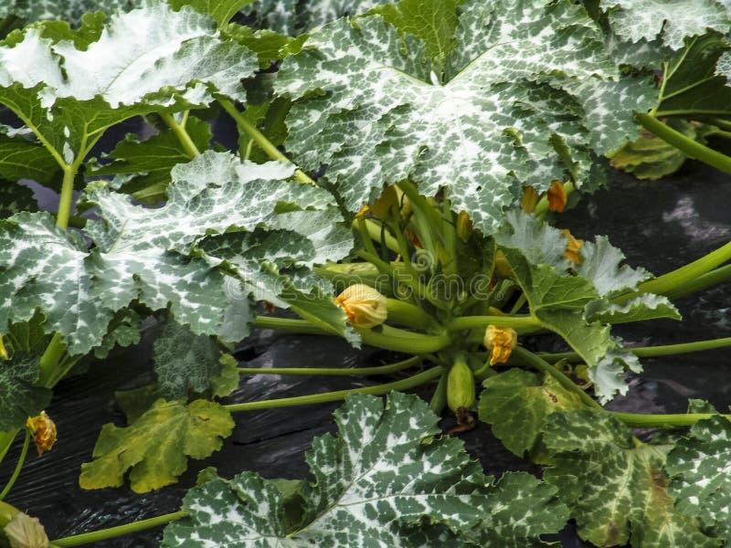 Het bloeien en rijpe vruchten van courgette in moestuin royalty-vrije stock fotografie