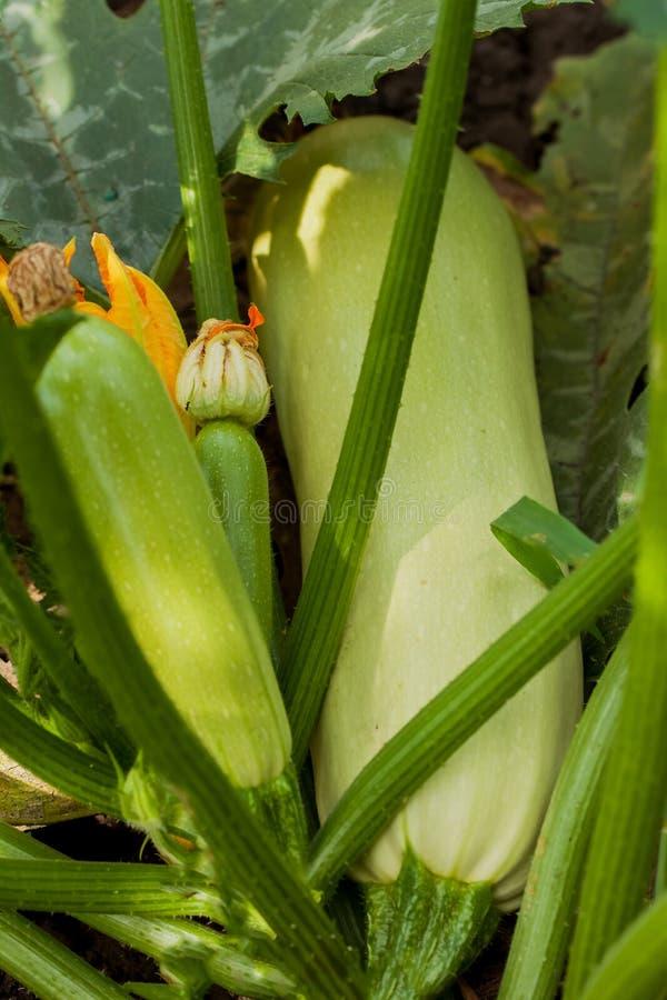 Het bloeien en rijpe vruchten van organische courgette in moestuin stock afbeeldingen