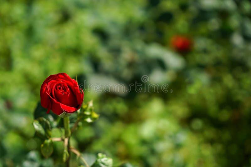Het bloeien enige nam rood op de vage groene achtergrond van de verloftuin bokeh op zonneschijndag toe, selectieve nadruk stock afbeeldingen