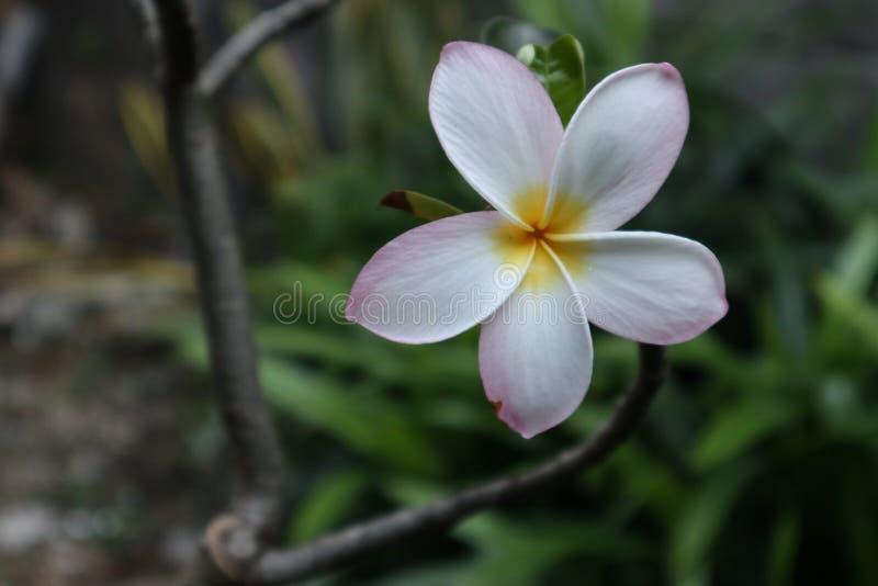Het bloeien frangipani, bloeiend en mooi royalty-vrije stock afbeeldingen