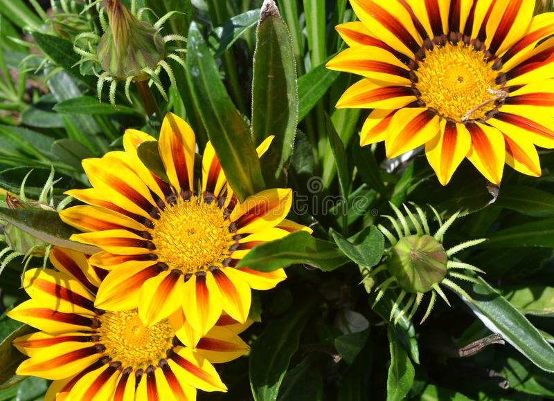 Het bloeien Gazania rigens met heldere gele bloemen stock foto