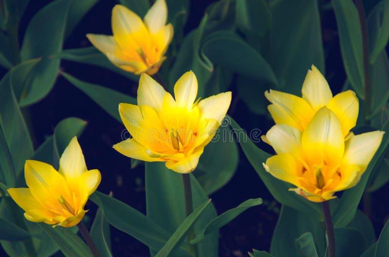 Het bloeien geel tulpenclose-up stock fotografie