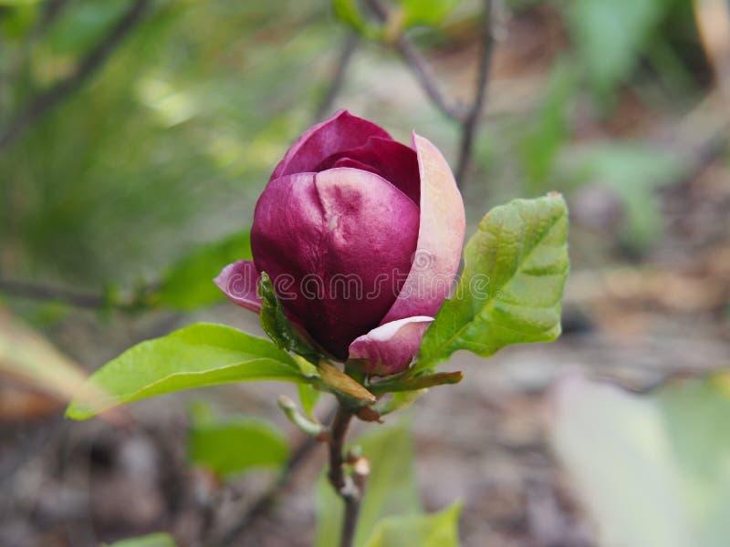 Het bloeien het Genie ` van Magnoliasoulageana ` royalty-vrije stock foto's