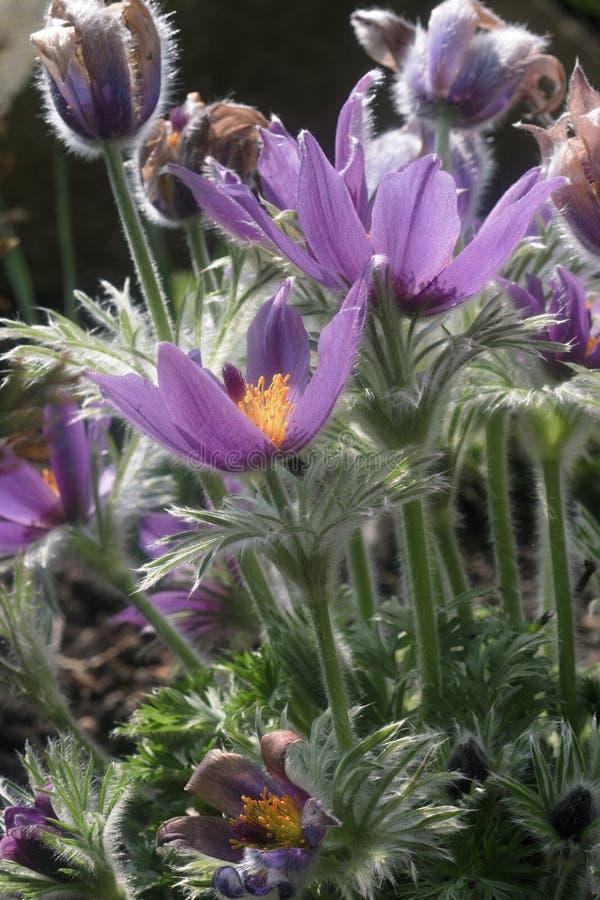 Het bloeien grandis van installatiepulsatilla stock foto