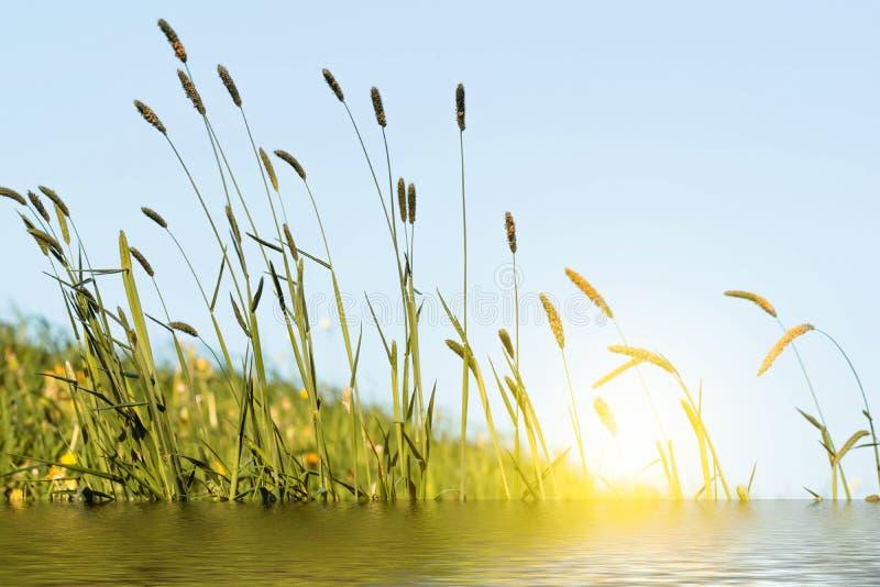 Het bloeien gras in detail - Allergenen - Allergie stock afbeelding