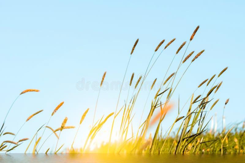 Het bloeien gras in detail - Allergenen - Allergie stock foto's