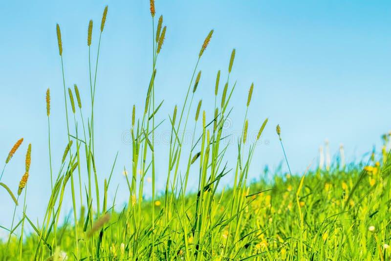Het bloeien gras in detail - Allergenen - Allergie stock afbeeldingen