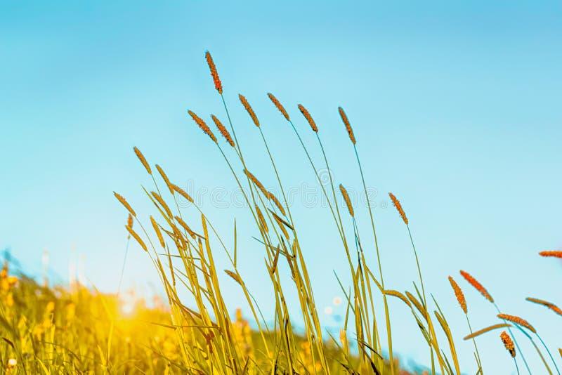 Het bloeien gras in detail - Allergenen - Allergie royalty-vrije stock afbeeldingen