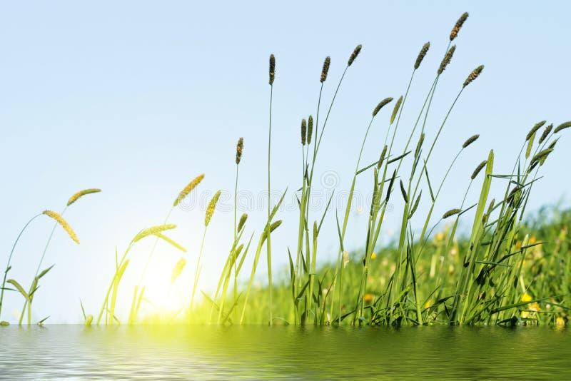 Het bloeien gras in detail - Allergenen - Allergie stock fotografie