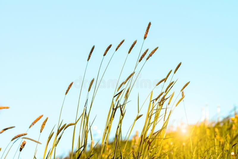 Het bloeien gras in detail - Allergenen - Allergie royalty-vrije stock foto's