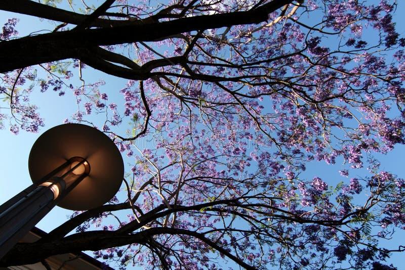 Het bloeien jacaranda stock fotografie