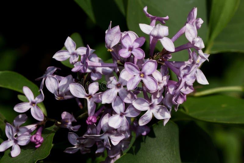 Het bloeien jonge lilac gloed in de heldere stralen van de de lentezon royalty-vrije stock foto's
