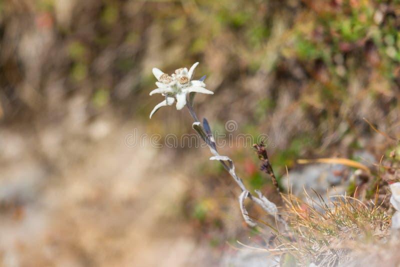 Het bloeien leontopodiumalpinum van de edelweissbloem in alpiene meado stock foto's