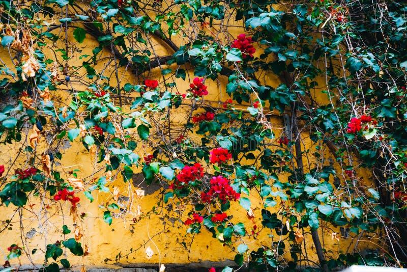 Het bloeien Liana met rode bloemen in tuin op Montjuic-berg Heldere kleurrijke bougainvilleabloemen op gele muur stock afbeeldingen