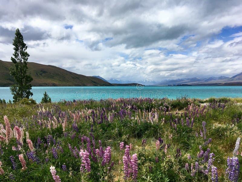 Het bloeien lupines door het meer stock foto