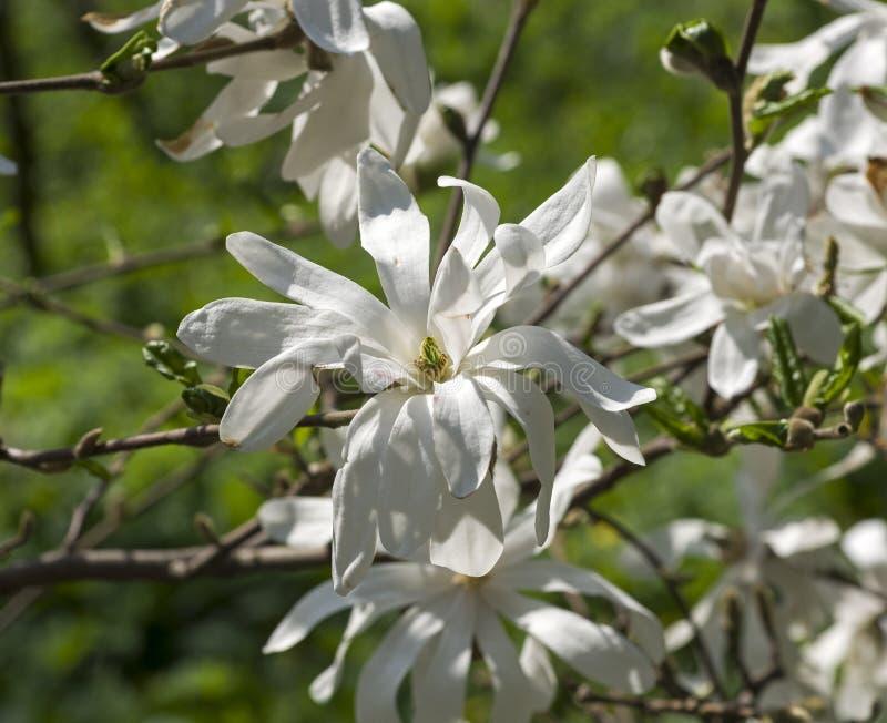 Het bloeien Magnoliastellata stock afbeelding