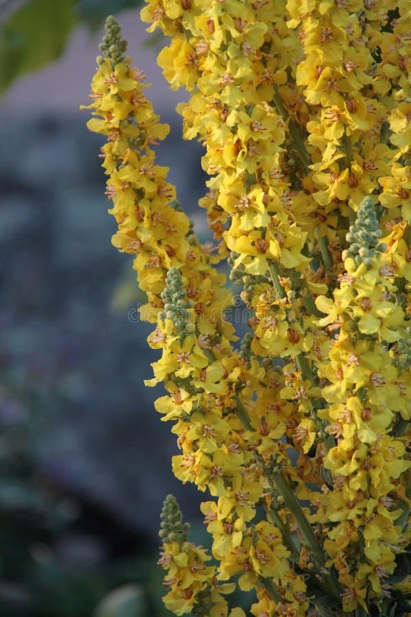 Het bloeien Mulleins in een Parc royalty-vrije stock afbeelding