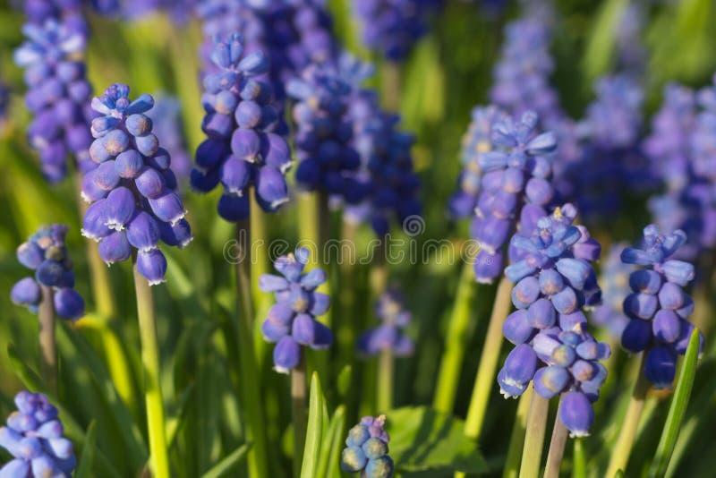 Het bloeien muscari stock fotografie