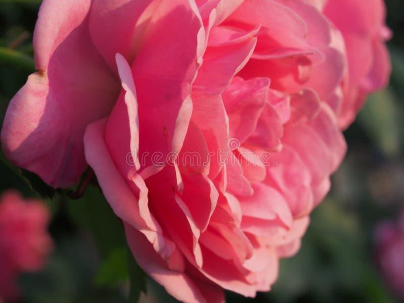 Het bloeien nam bloemen toe Roze bloemblaadjes van een bloemknop Bloementeelt royalty-vrije stock afbeeldingen