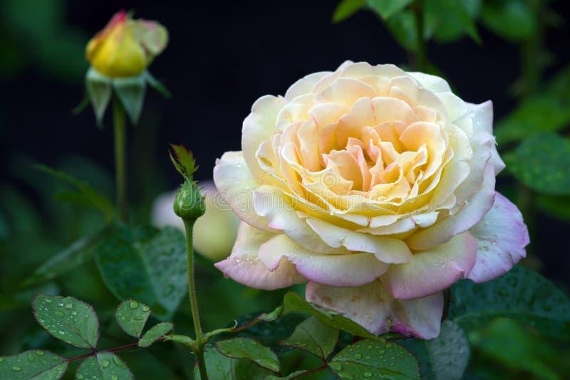 Het bloeien nam Gloria Dei met een knop in de dalingen na de regen op een onscherpe donkere natuurlijke achtergrond wordt geïsole royalty-vrije stock foto's