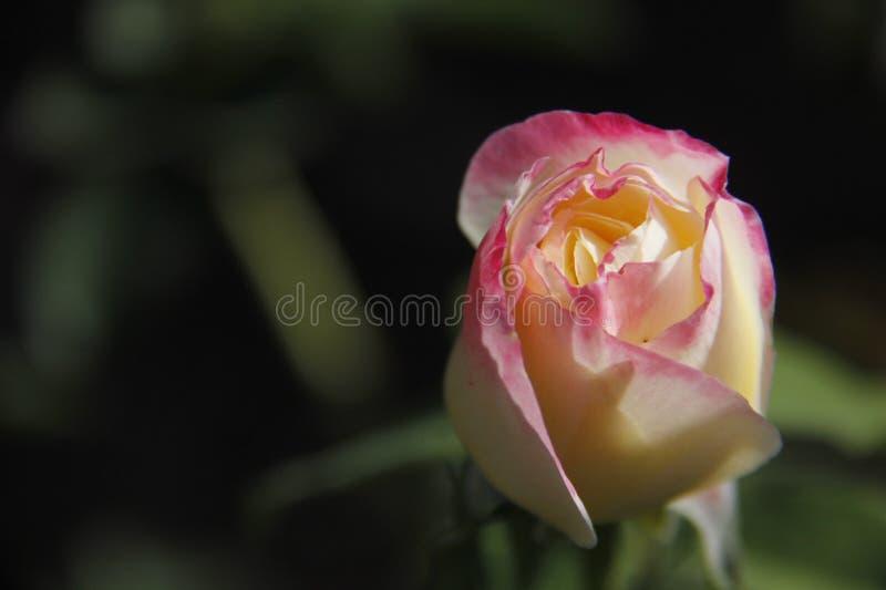 Het bloeien nam roze toe en stock afbeeldingen