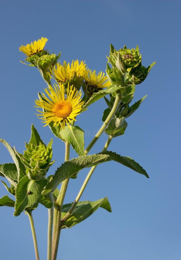 Het bloeien nard tegen de blauwe hemel stock afbeelding