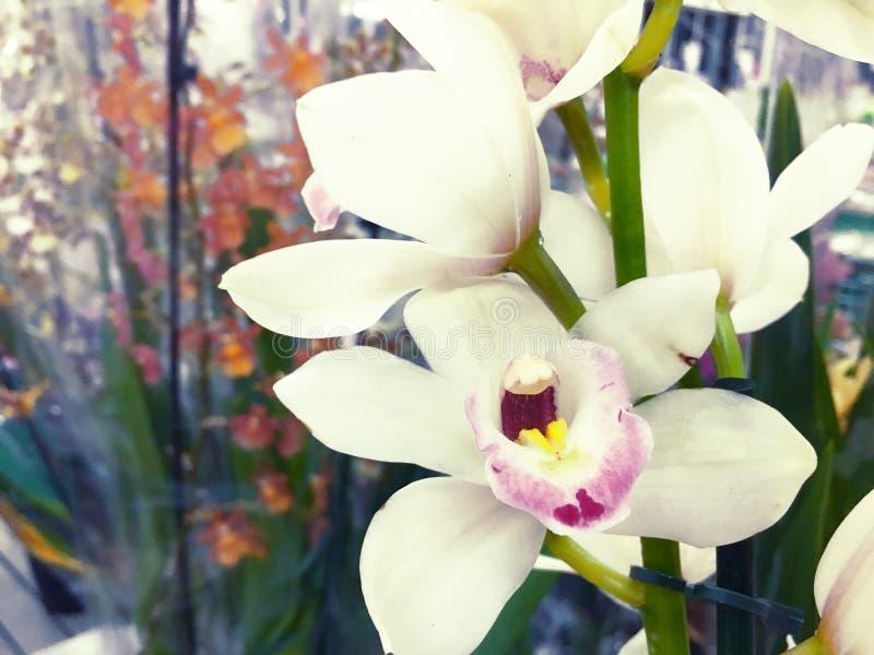 Het bloeien Orchideefalenopsis die op verkoop bij winkel wordt voorbereid stock afbeelding
