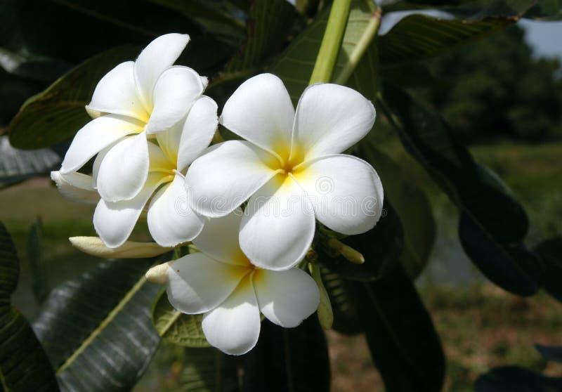 Het bloeien Plumerias royalty-vrije stock fotografie
