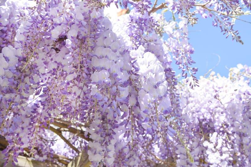 Het bloeien purpere wisteria in de lente in Frankrijk stock afbeelding
