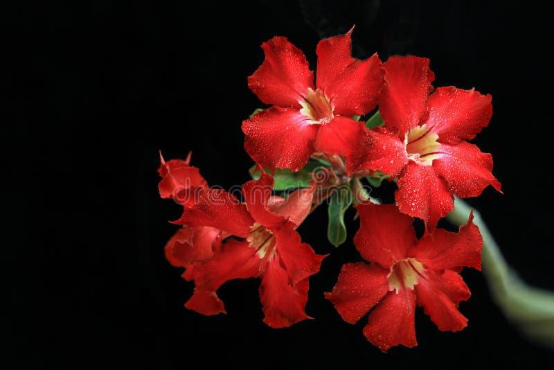 Het bloeien Rode die Adenium met Dauw op Zwarte Achtergrond wordt geïsoleerd Is een Tropische die Installatie als Cambodjaanse Bo royalty-vrije stock foto