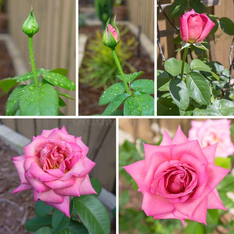 Het bloeien Rose Sequence royalty-vrije stock afbeelding