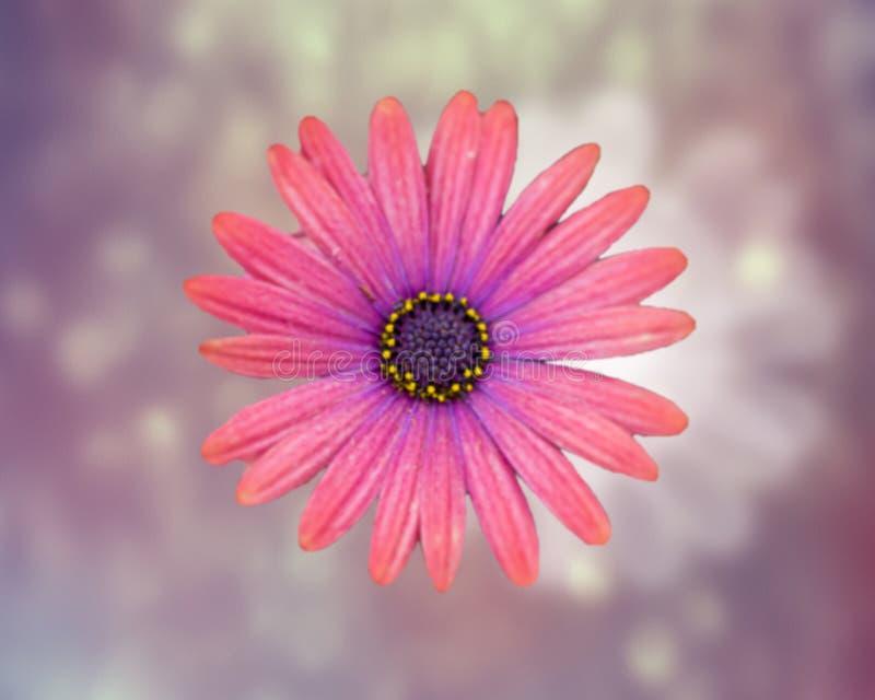 Het bloeien Roze Daisy Flower royalty-vrije stock afbeelding