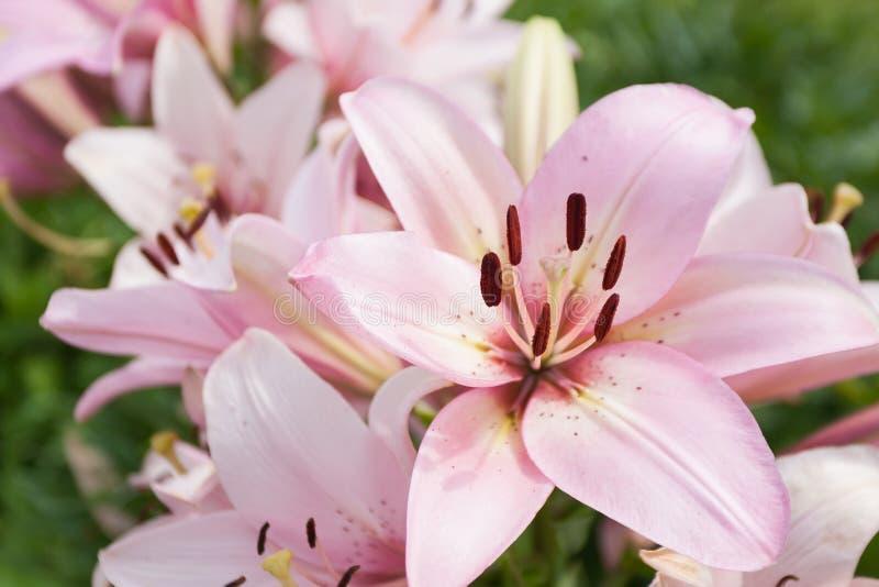 Het bloeien Roze Lillies stock foto's