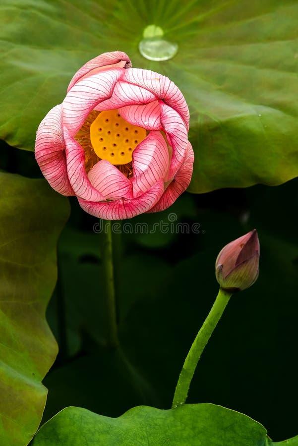 Het bloeien roze Lotus Flower en de Kleine lotusbloemknop, Achtergrond hebben dalingen van water op het lotusbloemblad stock foto's