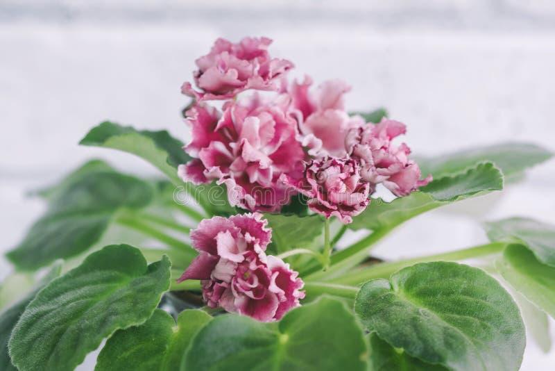 Het bloeien Saintpaulias, die algemeen als Afrikaans viooltje wordt bekend stock foto