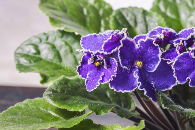 Het bloeien Saintpaulias, die algemeen als Afrikaans viooltje wordt bekend Mini Potted Plant stock afbeeldingen