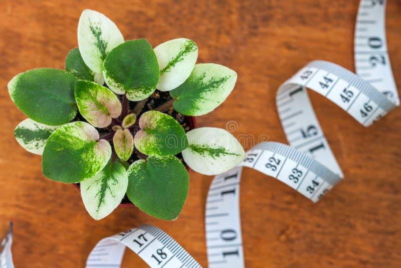 Het bloeien Saintpaulias, die algemeen als Afrikaans viooltje wordt bekend Mini Potted Plant royalty-vrije stock afbeeldingen