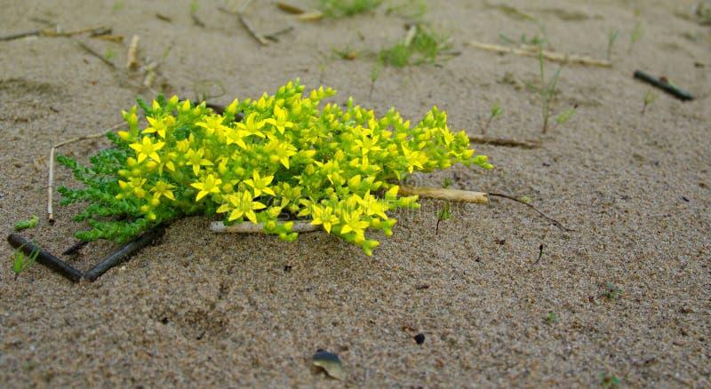 Het bloeien Sedum die op het zand groeide royalty-vrije stock afbeelding