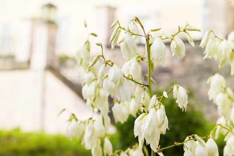 Het bloeien Soaptree elata van de yuccayucca in de tuin royalty-vrije stock fotografie
