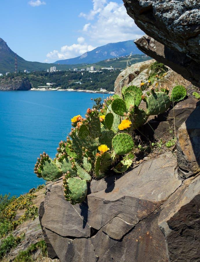 Het bloeien stekelige peer het groeien op een rotsachtige richel van de Krimbergen stock fotografie
