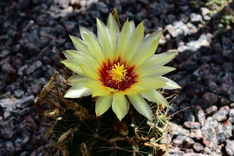 Het bloeien Thelocactus setispinus royalty-vrije stock foto's