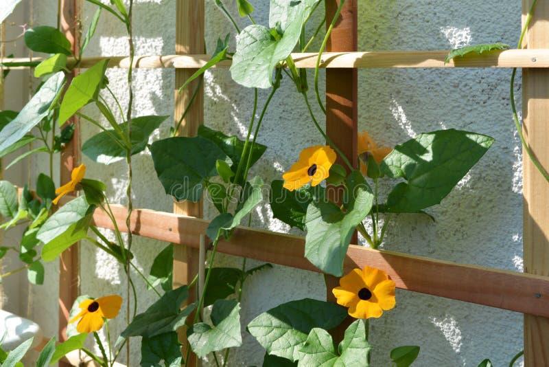 Het bloeien Thunbergia op houten latwerk dichtbij de muur op het balkon De zwart-eyed wijnstok van Susan met oranje bloemen royalty-vrije stock fotografie