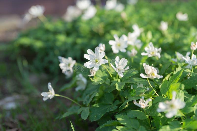 Het bloeien van baicalensis van wilde installatiesbaikal Anemone Anemone in de vroege lente - endemisch aan Siberië en het gebied stock fotografie