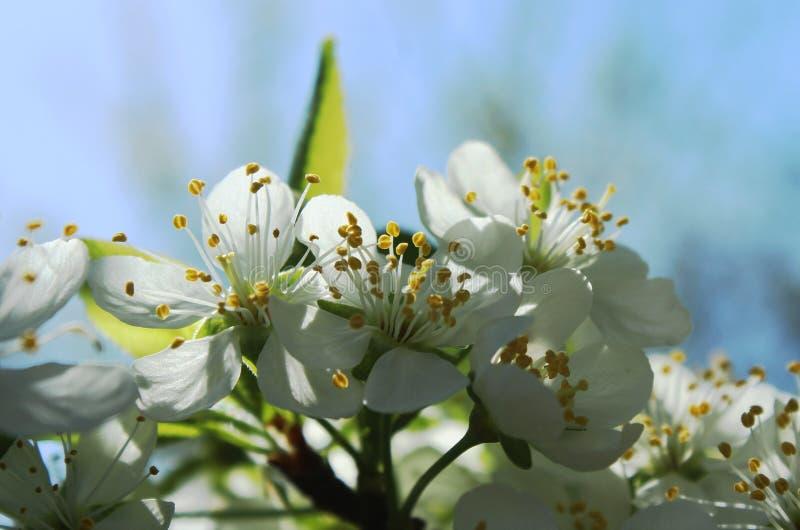 Het bloeien van bessenbomen stock afbeeldingen