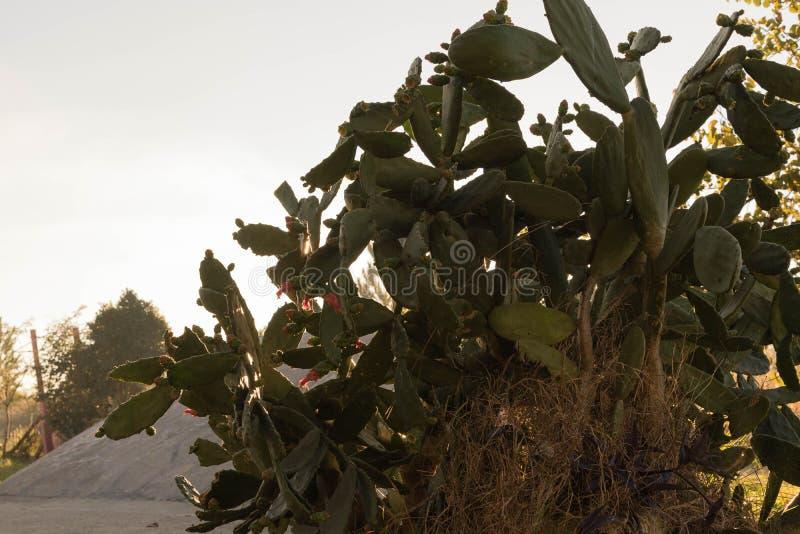 Het bloeien van Cactusvijgencactus in de winterochtend 01 stock fotografie