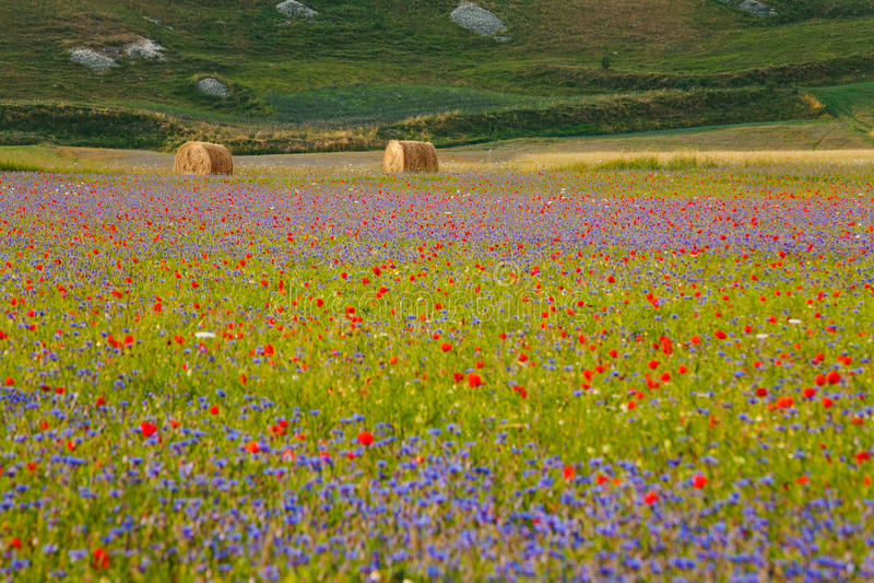 Het bloeien van Castelluccio royalty-vrije stock afbeelding