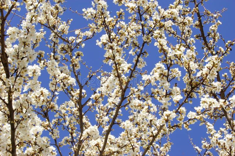 Het bloeien van de abrikoos stock foto