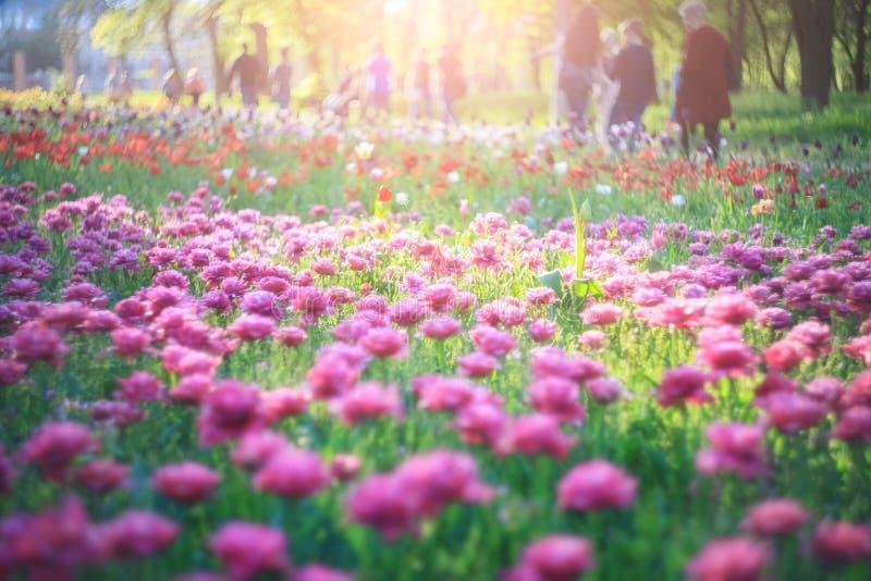 Het bloeien van rode roze tulpen, de lente bloeit in het park op groene achtergrond Mooie bloemen als bloemen natuurlijke achterg stock afbeelding